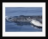 Baby Humpback Whale by Corbis