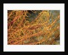 Crinoid Shrimp by Corbis