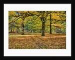 Big leaf maples and red vine maple in full autumn glory by Corbis