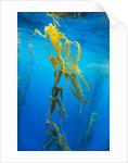 Seaweed on Diego Ramirez Islands, Chile by Corbis
