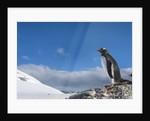 Gentoo penguin in Antarctica by Corbis