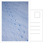 Gentoo penguin footprints on Anvers Island, Antarctica by Corbis