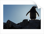 Gentoo penguin on Petermann Island, Antarctica by Corbis