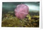 Underwater jellyfish in Cuverville Island, Antarctica by Corbis