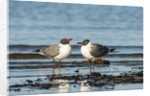 View of Laughing Gull standing in water by Corbis