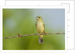 Olive Sparrow by Corbis