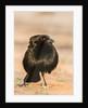 Bronzed Cowbird by Corbis