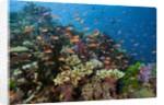 Lyretail Anthias (Pseudanthias squamipinnis) in Coral Reef by Corbis