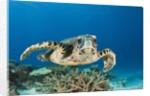 Hawksbill Turtle (Eretmochelys imbricata) by Corbis