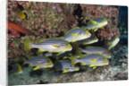 Oriental Sweetlips (Plectorhinchus vittatus) by Corbis