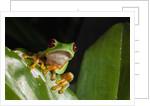 Red-eyed tree frog (Agalychnis callidryas) by Corbis