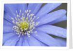 Blue daisy by Corbis
