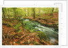 Forest brook through beech forest with deadwood by Corbis