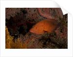Coral grouper (Cephalopholis miniatus) by Corbis