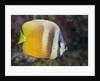 Klein's Butterflyfish (Chaetodon kleinii) by Corbis