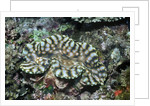 Fluted Giant Clam by Corbis