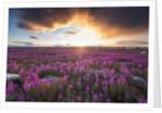 Fireweed, Hudson Bay, Canada by Corbis
