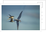 Arctic Terns, Hudson Bay, Canada by Corbis