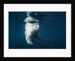 Underwater Polar Bear, Nunavut, Canada by Corbis
