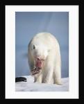 Polar Bear, Nunavut, Canada by Corbis