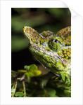 Chameleon, Kirindy Forest Reserve, Madagascar by Corbis
