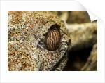 Leaf-tailed Gecko, Madagascar by Corbis