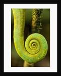 Parsons Chameleon Tail, Andasibe-Mantadia National Park, Madagascar by Corbis