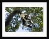 Black and White Ruffed Lemur, Madagascar by Corbis