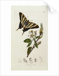A Scarce Swallow-Tail Butterfly (Iphiclides podalirius) on Pear Blossom (Pyrus communis) by Corbis