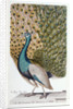 A Male Peacock in Full Display by Johann Leonhard Frisch