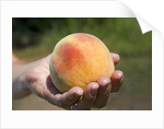 A large, freestone peach from the Kimberly Orchards in central Oregon by Corbis