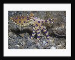 Blue-Ringed Octopus by Corbis