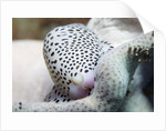 Black-Spotted Egg Cowrie by Corbis