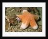 Granular Sea Star by Corbis