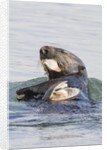 Southern Sea Otter eats a clam by Corbis