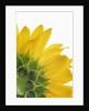 Sunflower by Corbis