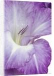 Gladiolus by Corbis