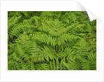 Ferns by Corbis
