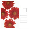 Chrysanthemum by Corbis