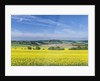 Canola Field by Corbis