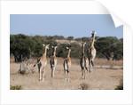 Southern giraffe (Giraffa camelopardalis) by Corbis