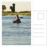 Hippopotamus, Botswana by Corbis