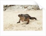 Exuma Island Iguana by Corbis