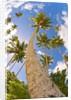 Curvy coconut palm tree. by Corbis