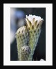 Cactus Flower by Corbis
