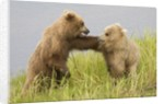 Brown (Grizzly) Bears by Corbis