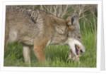 Coyote eating prey by Corbis