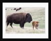 American Bison cow with calf by Corbis