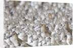 Flock of Western Sandpipers huddled together by Corbis