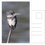 Belted Kingfisher by Corbis